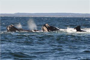 North Atlantic right whales (Photo: Jolinne Surrette / Fisheries and Oceans Canada)